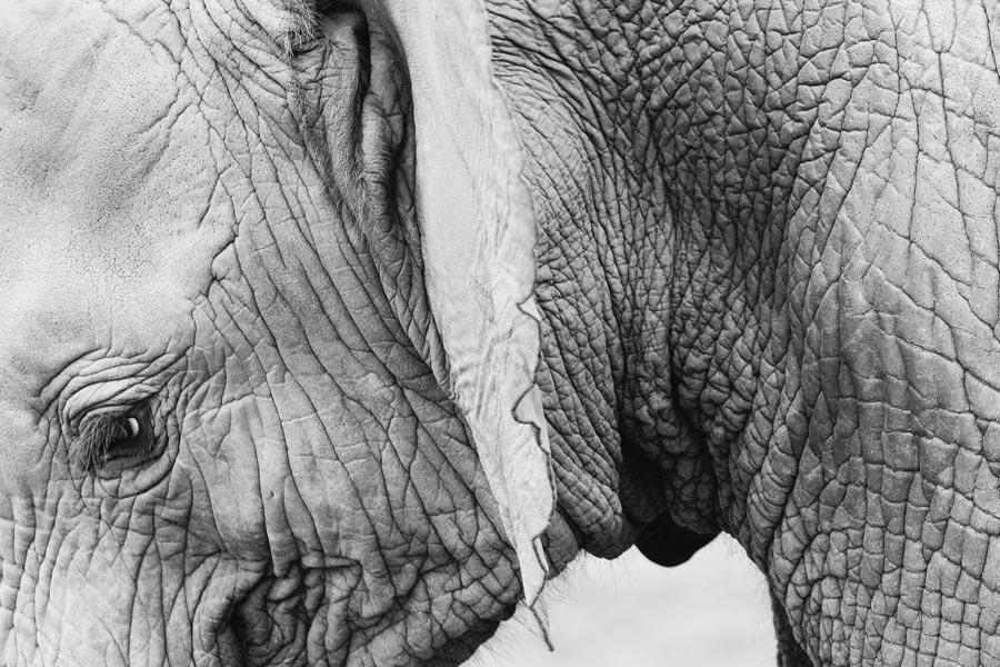babyelephant-komprimiert